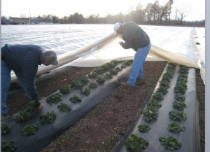 Cover photo for Disaster Aftermath: Delayed Planting and Row Covers