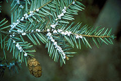 Cover photo for County Increases Reimbursement Rate to Treat Hemlocks!