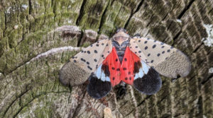 Cover photo for Pest Alert: Spotted Lanternfly Lifecycle