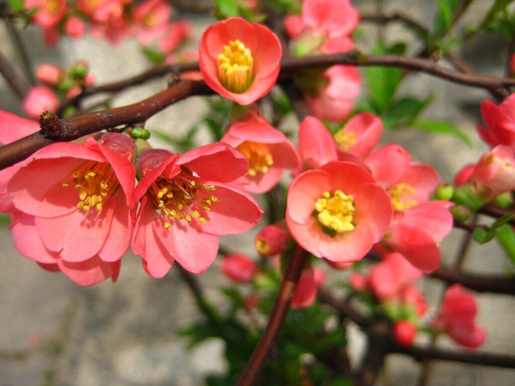 Flowering quince Chaenomeles speciosa